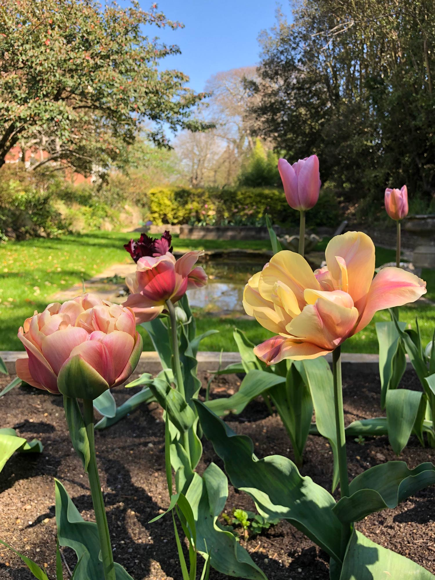 Garden pond with tulips